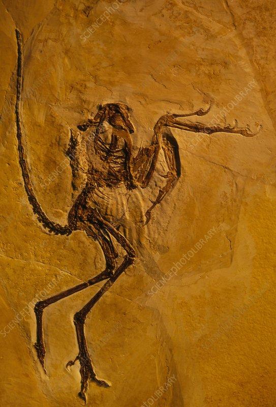 Pterodactyl fossil, Solnhofen, Germany