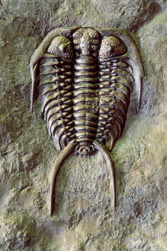 Fossil trilobite, Gabriceraurus dentatus