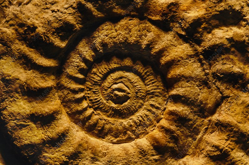 Ammonite fossil, Solnhofen, Germany