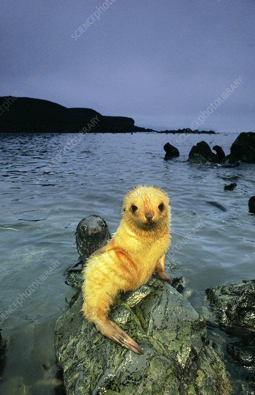 Antarctic fur seal pup, blond morph
