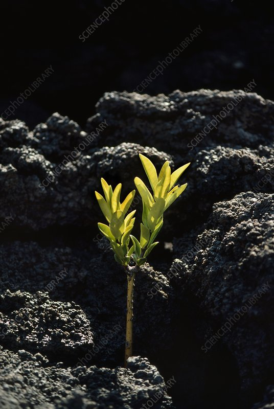 Mangrove sprouting on lava flow