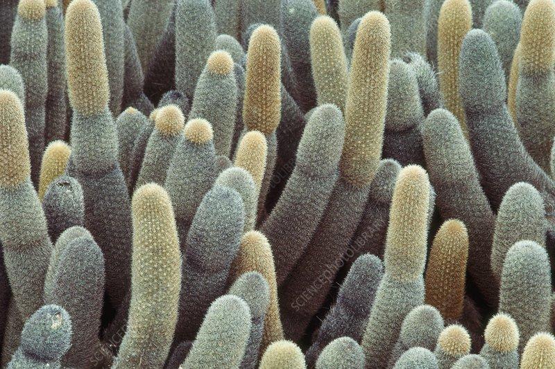 Lava cactus, Brachycereus nesioticus