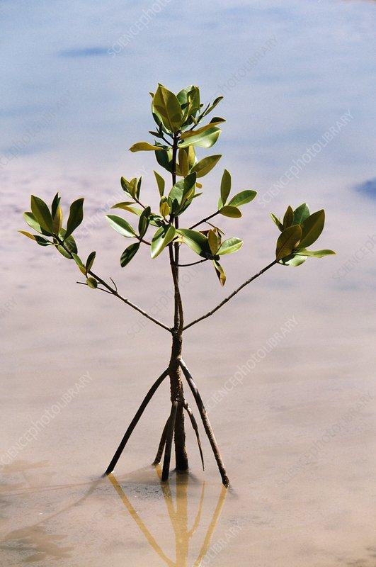 Mangrove seedling, Avicennia sp.