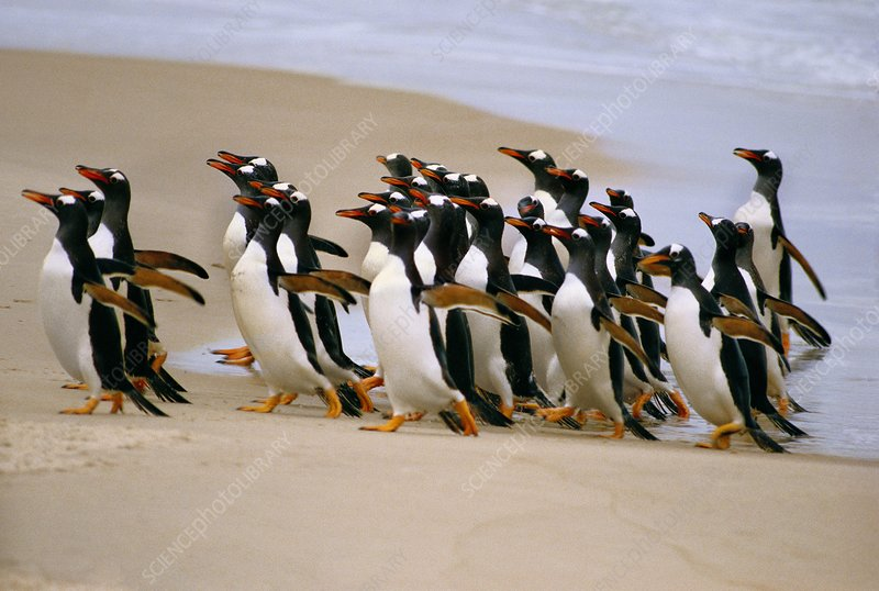 Gentoo penguins coming ashore, Falklands