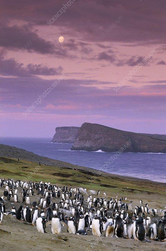 Gentoo penguin colony at twilight