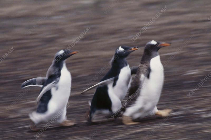 Gentoo penguin chicks chasing parent
