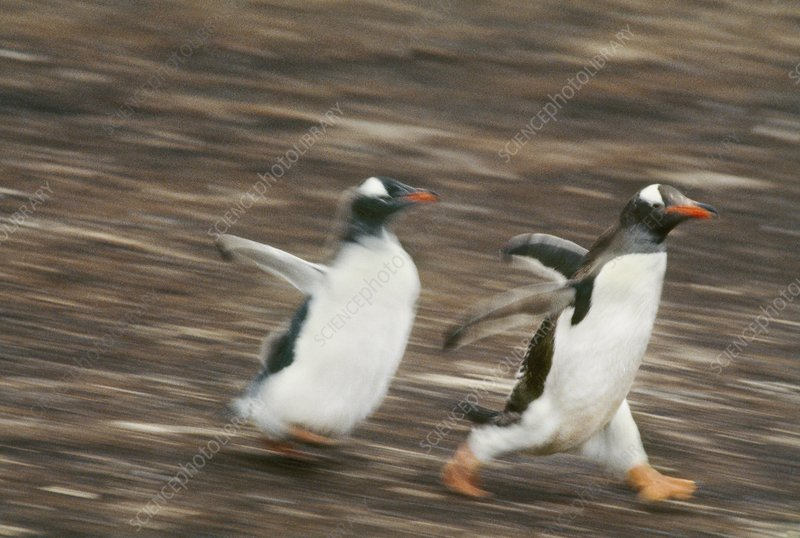 Gentoo penguin chick chasing parent