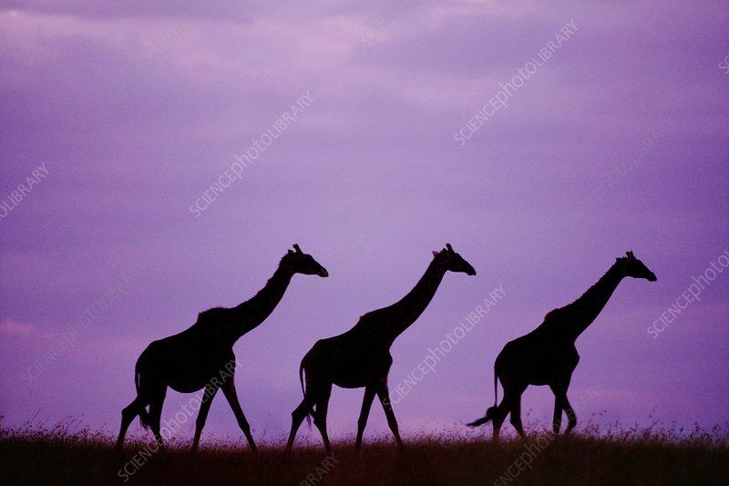 Masai giraffes at sunset, Kenya