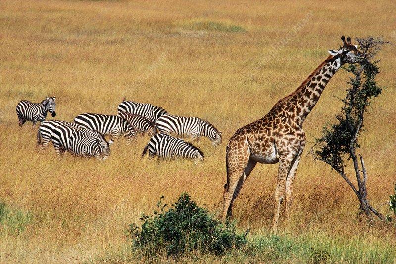 Giraffe, and zebras foraging, Equus sp.