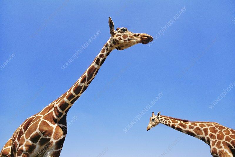 Reticulated giraffes, reticulata, Kenya