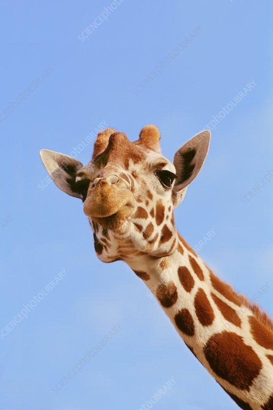 Reticulated giraffe, reticulata, Kenya