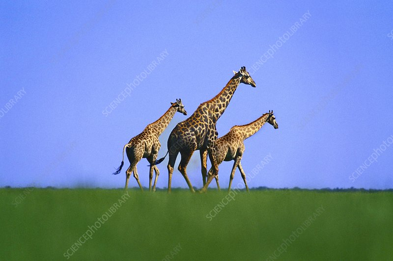 Giraffes on short grass plains, Botswana