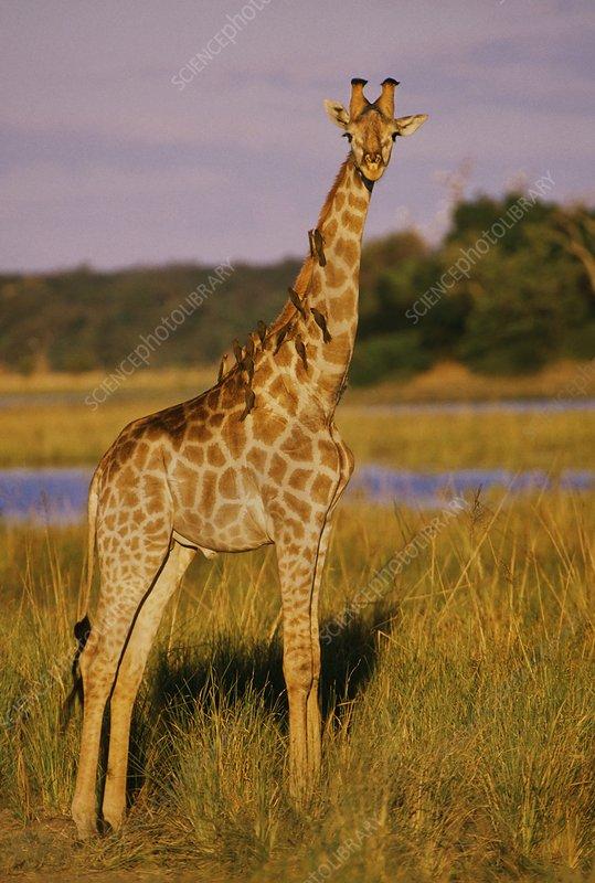Giraffe, Okavango Delta, Botswana