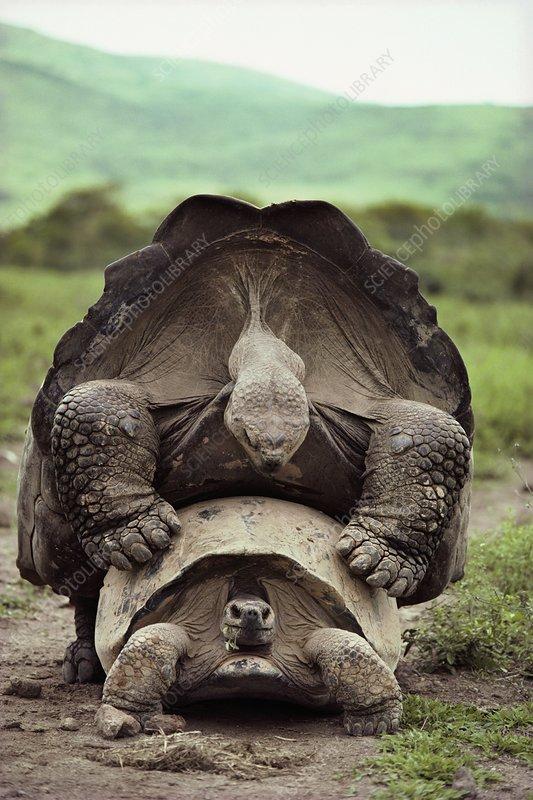 Giant tortoises mating, Geochelone nigra