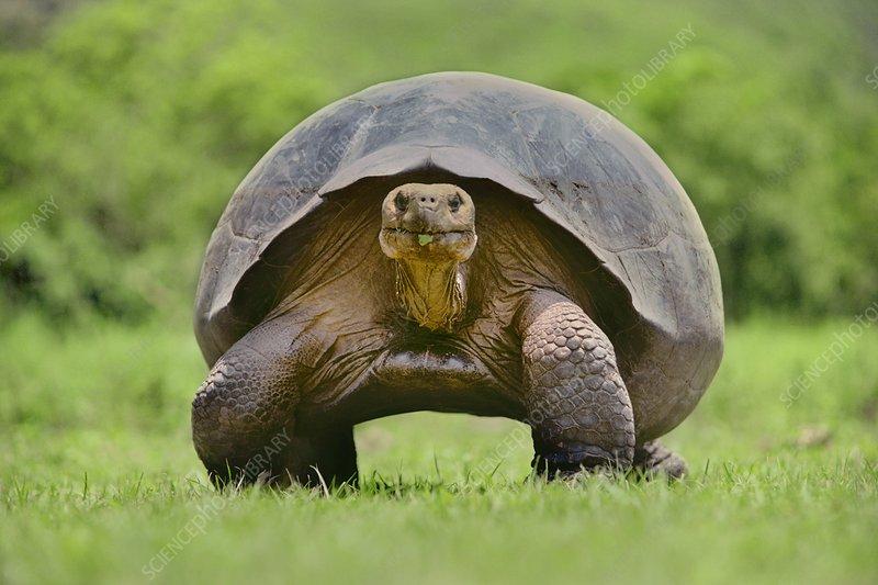 Giant tortoise, Geochelone nigra
