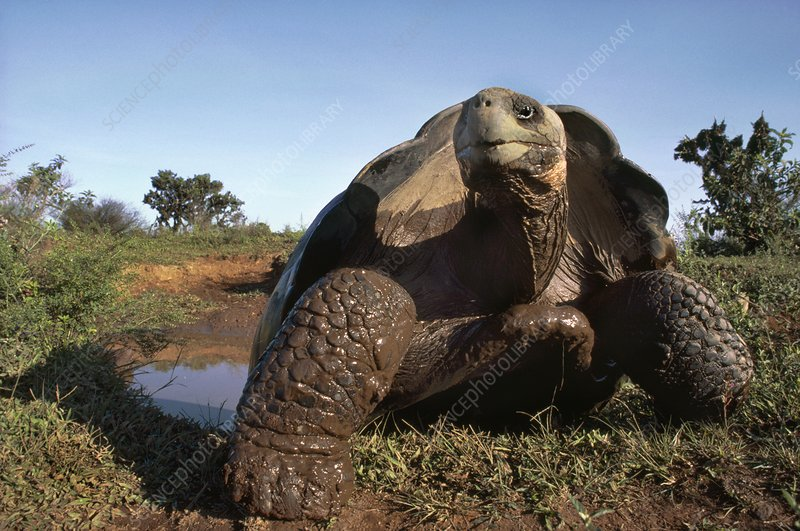 Giant tortoise at mud wallow