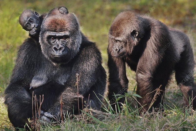 Lowland gorillas, Congo