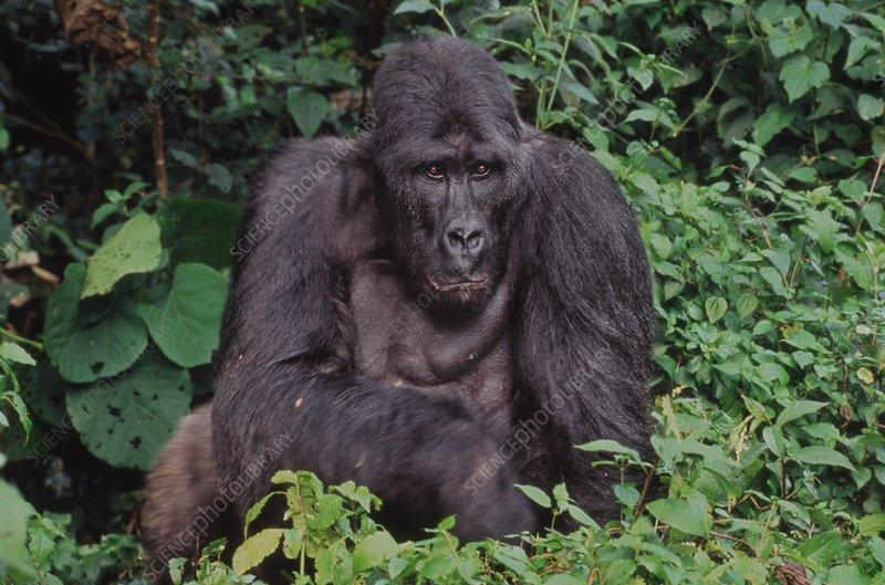 Lowland gorilla male, Congo