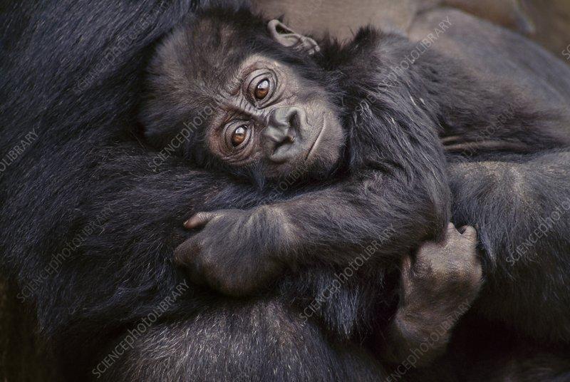 Eastern lowland gorilla infant, Congo,