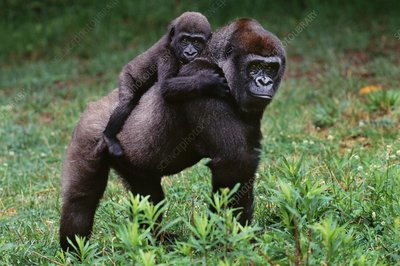 Lowland gorilla mother and baby, Congo