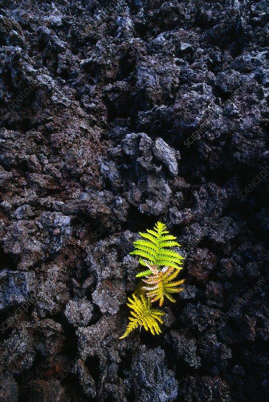 Ama'u fern growing in lava flow