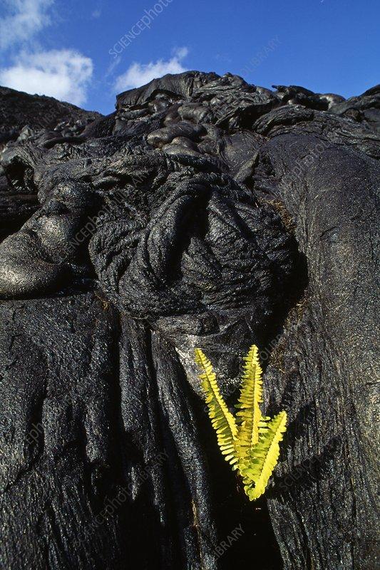 Ama'u ferns growing in lava flow