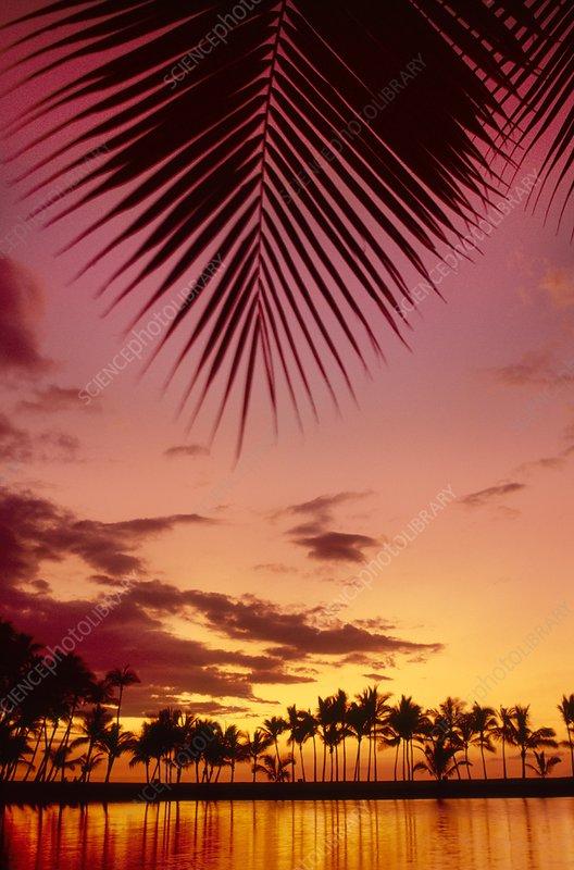 Sunset and palm trees. Hawaii