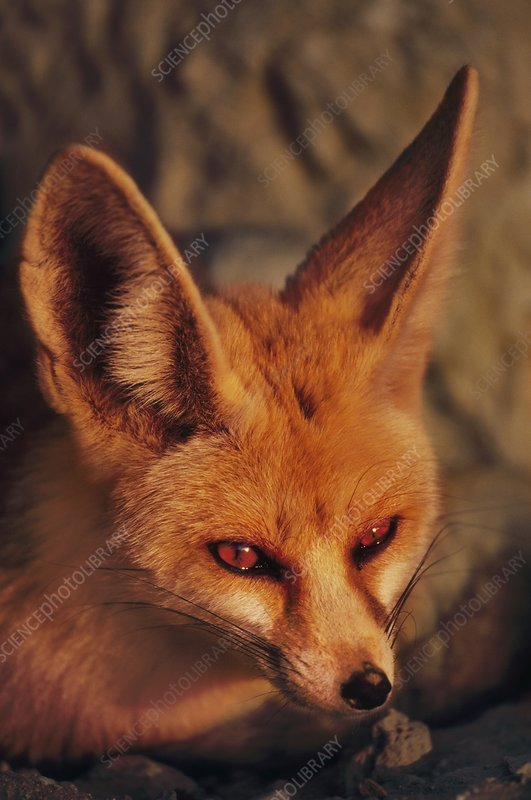 Fennec fox, Vulpes zerda, Negev Desert