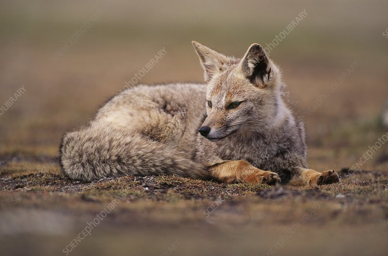 Patagonian fox, Tierra Del Fuego, Chile