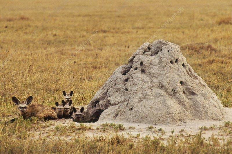Bat-eared foxes, termite mound, Botswana