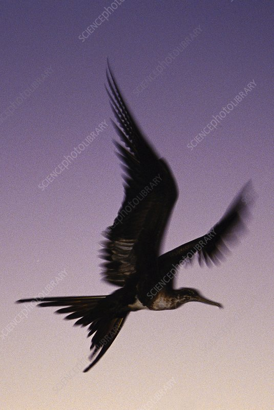 Magnificent frigatebird in flight