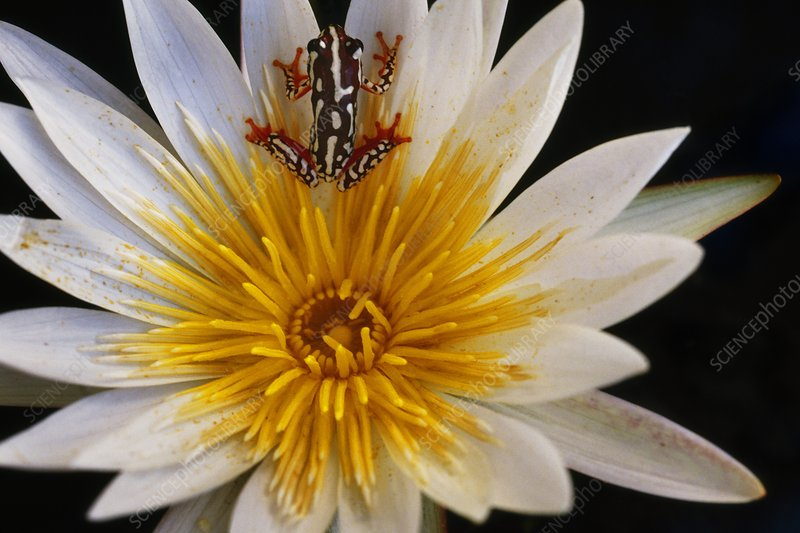 Reed frog, Hyperolius sp., in water lily