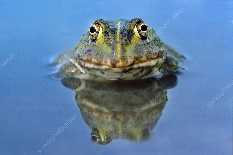 African bullfrog, Pyxicephalus adspersus