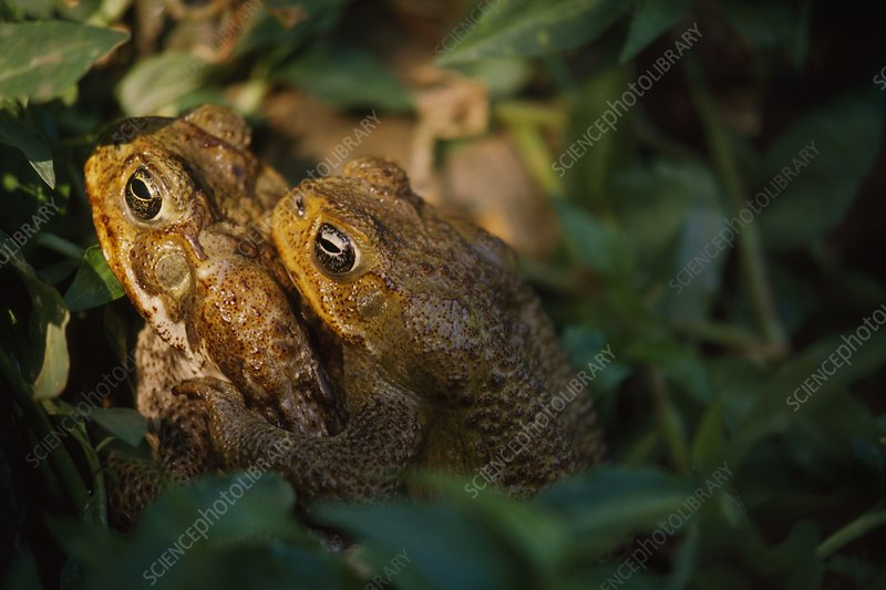 Cane toads mating, Bufo marinus