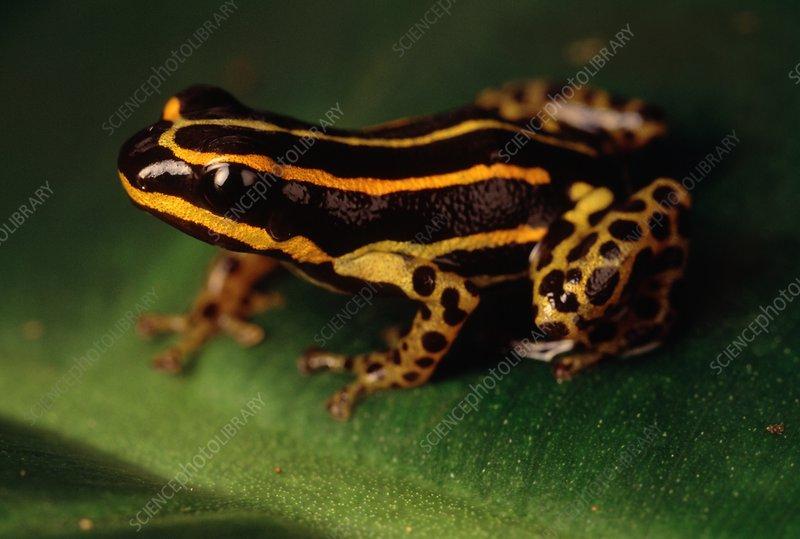 Poison dart frog, Dendrobates sp