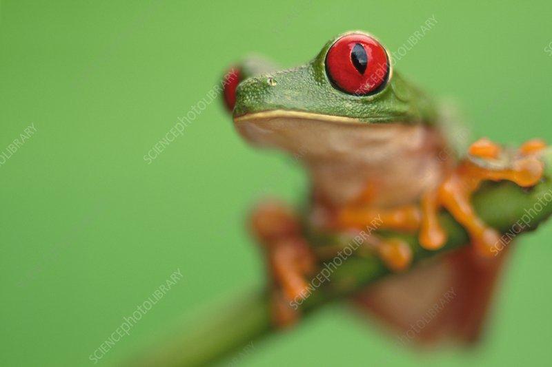 Red-eyed tree frog, Agalychnis callidryas