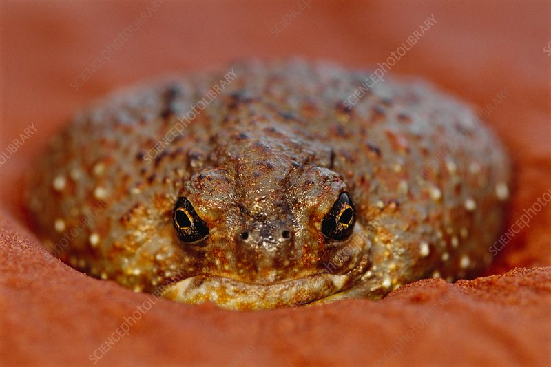 Desert spadefoot toad emerging from sand