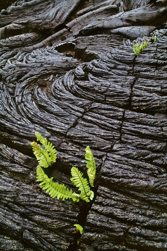 Ferns sprouting in lava cracks, Hawaii