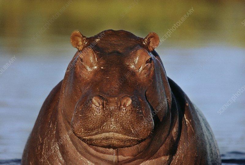Hippo, Hippopotamus amphibius, Botswana