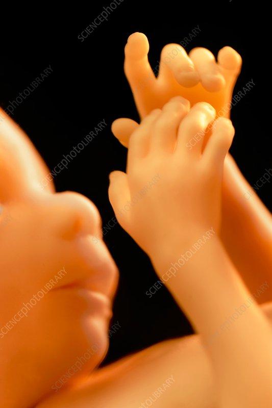 Human fetus, specimen, USA