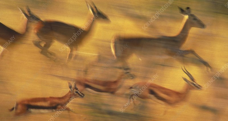 Thomson's gazelles and impalas running