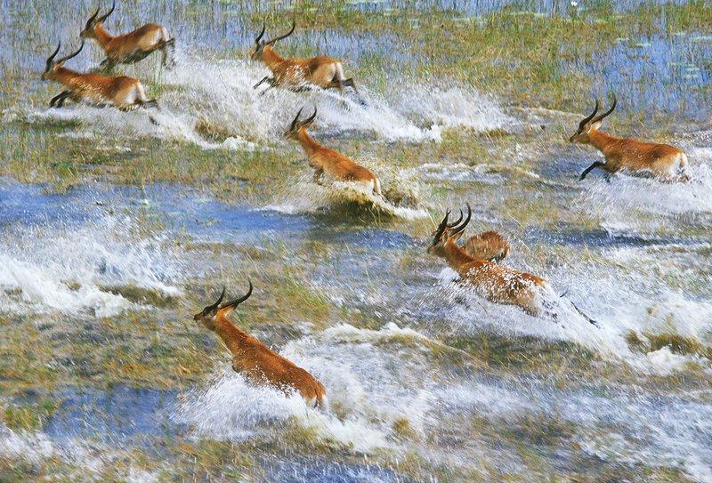 Red lechwe running across flooded plains