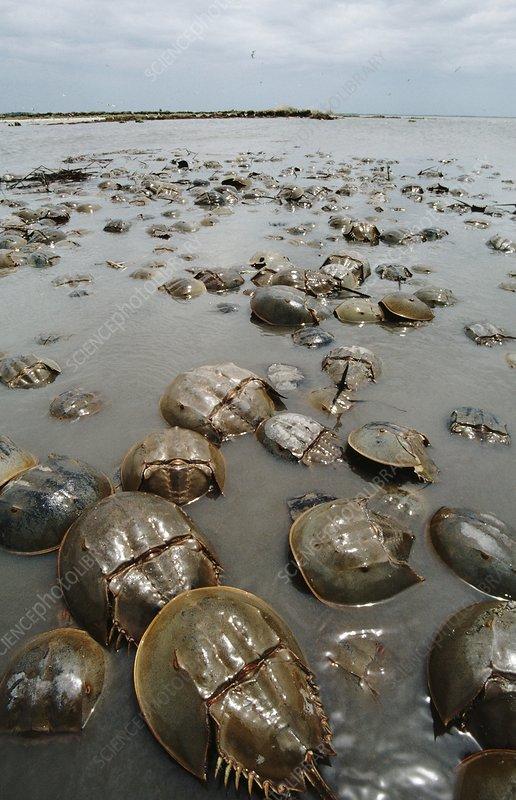 Mass spawning of horseshoe crabs