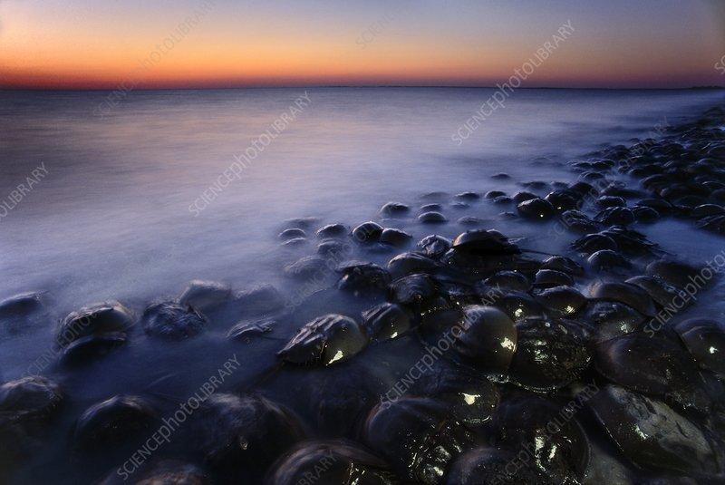 Horseshoe crabs spawning at dusk