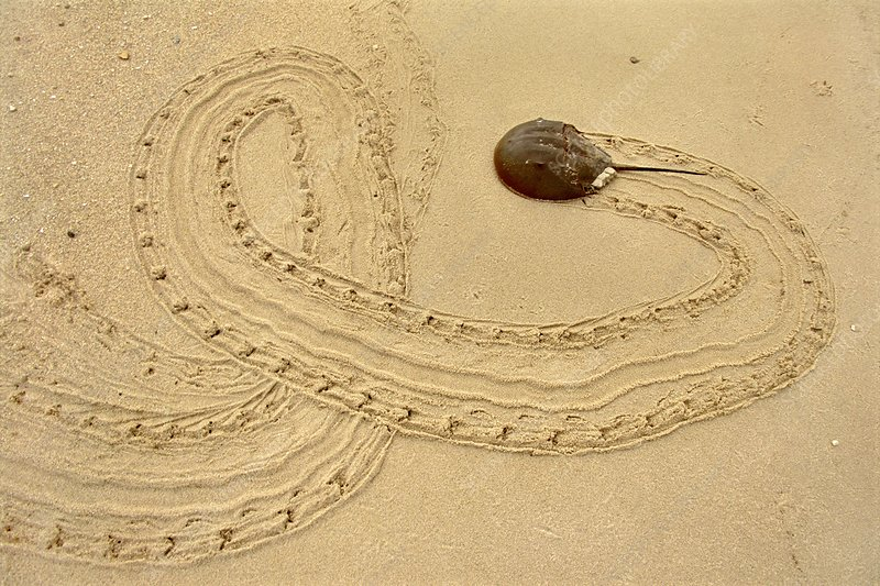 Horseshoe crab on beach, USA