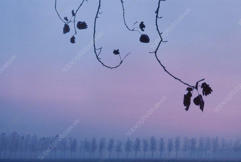 Poplar trees in winter, Netherlands