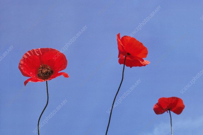 European poppies, Eschscholzia sp.