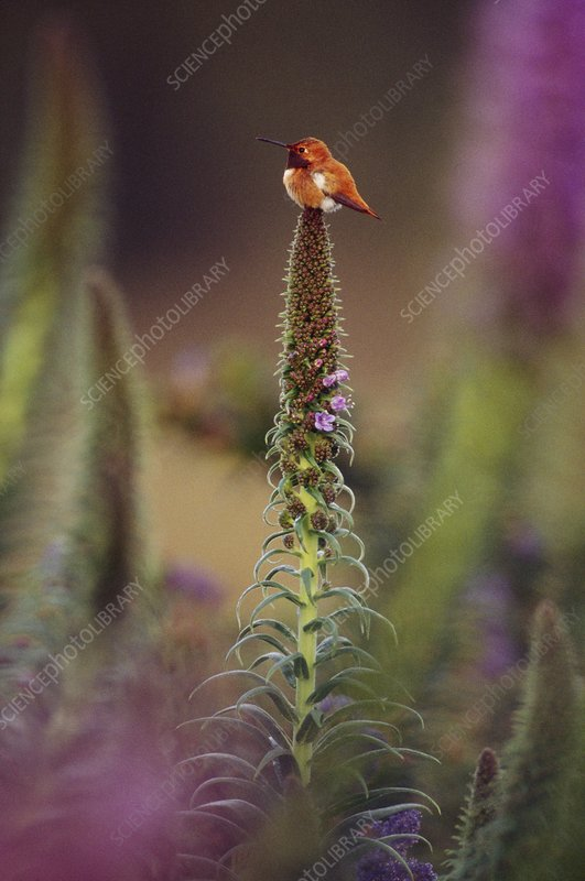 Rufous hummingbird on flower stalk
