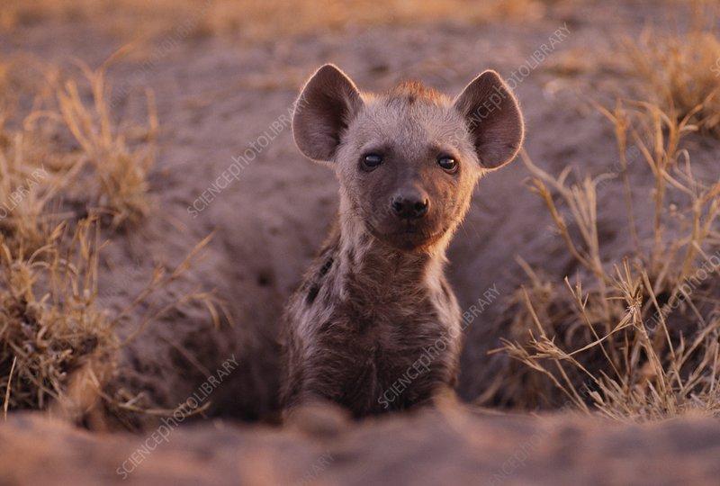 Spotted hyena pup at burrow, Botswana
