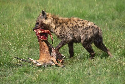 Spotted hyena with gazelle kill, Kenya